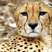 A Cheetah's Portrait Art Print