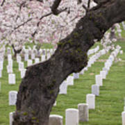 A Cherry Tree In Arlington National Cemetery Art Print