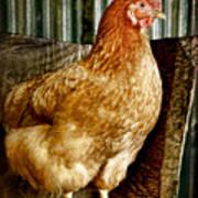 A Chicken Named Rembrandt Art Print