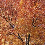 A Claret Ash Tree In Its Autumn Colors Art Print