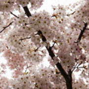 A Cloud Of Pastel Pink Cherry Blossoms Celebrating The Arrival Of Spring  Art Print