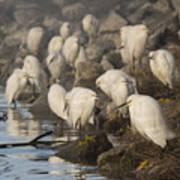 A Congregation Of Egrets Art Print