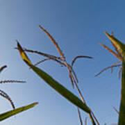 A Corn Field At The Historic Waveland Art Print