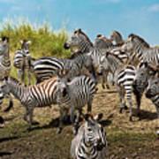 A Dazzle Of Zebras Art Print