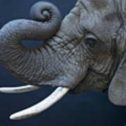 A Female African Elephant, Loxodonta Art Print