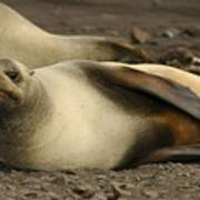 A Female Antarctic Fur Seal Sunning., By Noaa Art Print