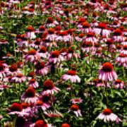 A Field Of Echinacea Art Print