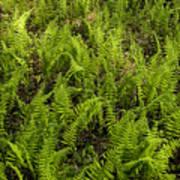 A Field Of Ferns Art Print
