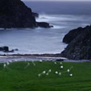 A Flock Of Sheep Graze On Seaweed Art Print