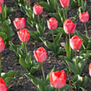 A Garden Full Of Tulips Art Print