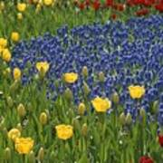 A Garden Of Colorful Tulips And Grape Art Print