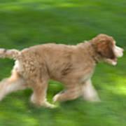 A Goldendoodle Puppy Runs Print by Joel Sartore