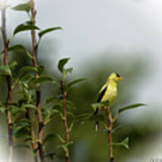 A Goldfinch In A Pear Tree Art Print