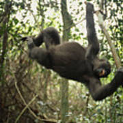 A Gorilla Swinging From A Vine Art Print