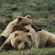 A Grizzly Bear Cub Stretches Art Print