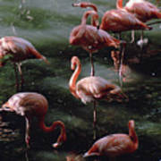 A Group Of Flamingos At The Folsom Art Print