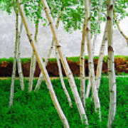 A Grove Of Birches 1 Art Print