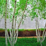 A Grove Of Birches 2 Art Print