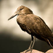 A Hammerkop At The Lincoln Childrens Art Print