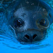 A Harbor Seal At The Lincoln Childrens Art Print