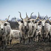 Grey Cattle Herd Art Print