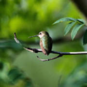 A Hummingbird Rests Art Print