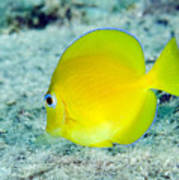 A Juvenile Blue Tang Searching Art Print by Terry Moore