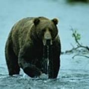 A Kodiak Brown Bear Ursus Middendorfii Print by George F. Mobley