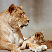 A Lioness And Cub Art Print