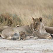 A Lioness Mouths A Cubs Tail To Keep Art Print by Des &Amp Jen Bartlett