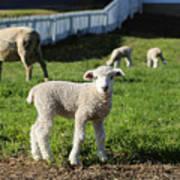 A Longwool Lamb Art Print