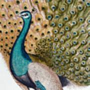 A Male Peacock In Full Display, 1763 Art Print