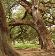 A Maze Of Oak Trees  Art Print