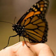 A Monarch Butterfly At The Butterfly Art Print