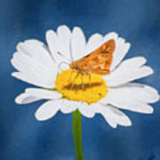 A Moth Collects Pollen On A Single Daisy Blossom. Art Print