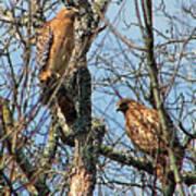 A Pair Of Hawks Art Print