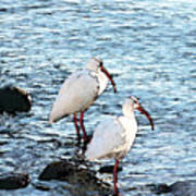 A Pair Of White Isbis Standing In The Shore Art Print