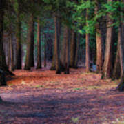 A Path Of Redwoods Art Print