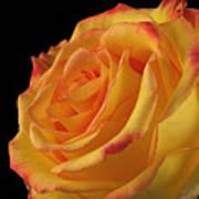 A Perfect Rose #2 Art Print