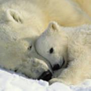 A Polar Bear And Her Cub Napping Art Print