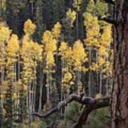 A Ponderosa Pine Tree Among Aspen Trees Art Print
