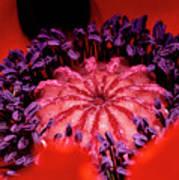 A Poppy's Heart Art Print