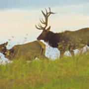 A Portrait Of A Large Bull Elk Following A Cow,rutting Season. Art Print