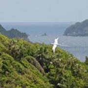 A Red-billed Tropicbird (phaethon Art Print