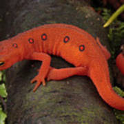 A Red Eft Crawls On The Forest Floor Art Print by George Grall