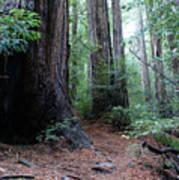 A Redwood Trail Art Print
