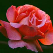 A Rose For Rose Art Print