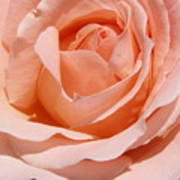 A Rose Is A Rose By Any  Name .... Art Print