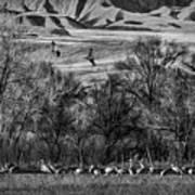 A Sedge Of Sandhill Cranes Art Print