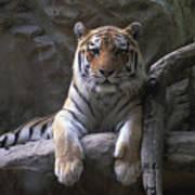 A Siberian Tiger At Omahas Henry Doorly Art Print
